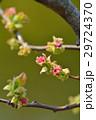 カリン 蕾 花芽の写真 29724370