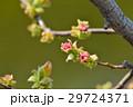 カリン 蕾 花芽の写真 29724371