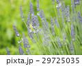 ラベンダー 花 植物の写真 29725035