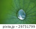 蓮 葉 水玉の写真 29731799