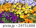 パンジー 花 三色菫の写真 29731888