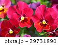 パンジー 花 三色菫の写真 29731890