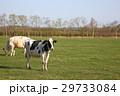 ホルスタイン 牛 乳牛の写真 29733084