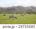 ホルスタイン 牛 乳牛の写真 29733085