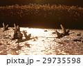 夕陽を浴びて飛び立つ白桃 29735598