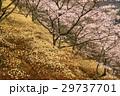 桜 29737701