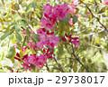 しゃくなげ 石楠花 石南花の写真 29738017