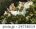 しゃくなげ 石楠花 石南花の写真 29738019