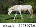 馬 ホワイト 白の写真 29739739