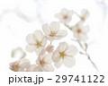 サクラ 29741122