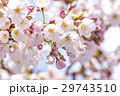 春 満開の桜 東京 29743510