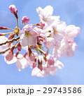春 満開の桜 東京 29743586