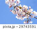 春 満開の桜 東京 29743591