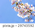春 満開の桜 東京 29743592