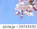 春 満開の桜 東京 29743593