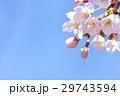 春 満開の桜 東京 29743594
