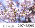 春 満開の桜 東京 29743595