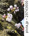 春 満開の桜 東京 29743600