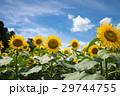 ひまわり畑 向日葵 花畑の写真 29744755