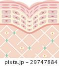 肌 断面図 断面のイラスト 29747884