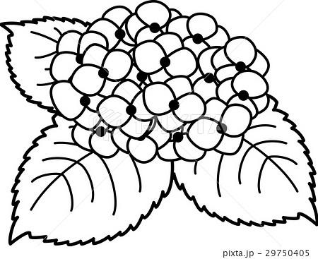 あじさい 白黒線画ぬり絵のイラスト素材 29750405 Pixta