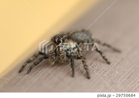 生き物 蜘蛛 アダンソンハエトリ、人の近くで暮らしハエや蚊などを退治してくれています 29750684