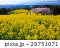 白木峰高原 菜の花と桜 29751071