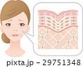 肌 女性 断面図のイラスト 29751348