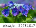 アジサイ 花 紫の写真 29751617