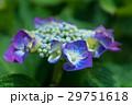 アジサイ 花 紫の写真 29751618