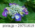 アジサイ 花 紫の写真 29751619