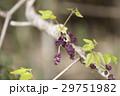 植物 花 アケビの写真 29751982