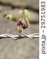 植物 花 アケビの写真 29751983