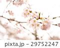 桜の花 29752247