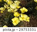この黄色い花はハナビシソウ 29753331