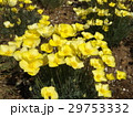 この黄色い花はハナビシソウ 29753332