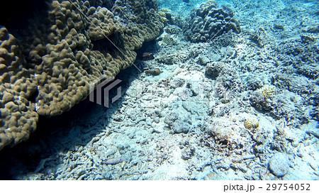 沖縄 阿嘉島のフグ 水中撮影 29754052