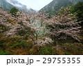 山桜 29755355