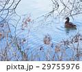 カモ 水辺 冬枯れの写真 29755976