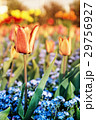 Tulips and forget-me-not flowers, beauty filter 29756927