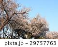木の花「ベニバスモモ」山田池公園:大阪府枚方市 29757763
