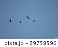 鳥 青空 飛翔の写真 29759590