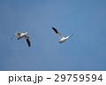 鳥 青空 飛翔の写真 29759594