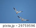 鳥 青空 飛翔の写真 29759596