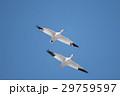 鳥 青空 飛翔の写真 29759597