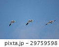鳥 青空 飛翔の写真 29759598