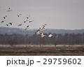 北海道 野鳥 渡り鳥の写真 29759602