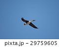 鳥 青空 飛翔の写真 29759605