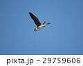 鳥 青空 飛翔の写真 29759606