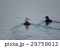 野鳥 鳥 クロガモの写真 29759612